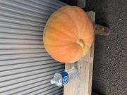 ジャンボ かぼちゃ を頂きました。